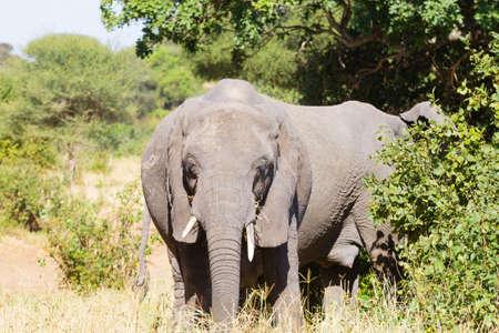 Elephant close up, Tarangire National Park, Tanzania, Africa. African safari. Фото со стока