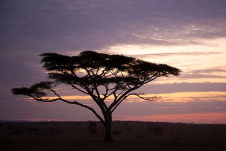 Dawn at Serengeti National Park, Tanzania, Africa. African panorama Фото со стока
