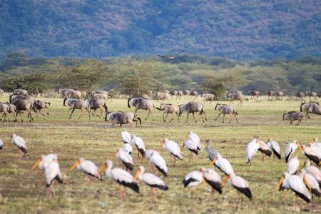 Wildebeest herd with birds in foreground, Lake Manyara, Tanzania. African safari. Africa