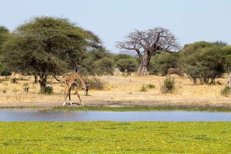 Giraffe close up, Tarangire National Park, Tanzania, Africa. African safari.
