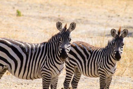 Zebras close up, Tarangire National Park, Tanzania, Africa. African safari.