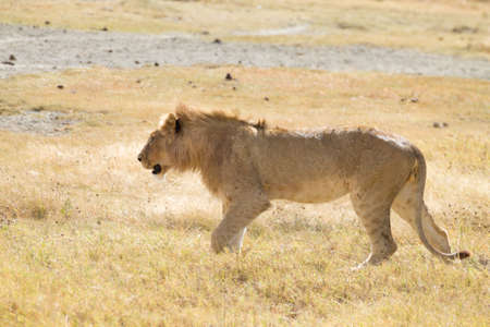 Lion on Ngorongoro Conservation Area crater, Tanzania. African wildlife
