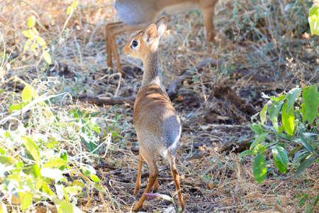 Dik dik antelope close up, Tarangire National Park, Tanzania, Africa. African safari.