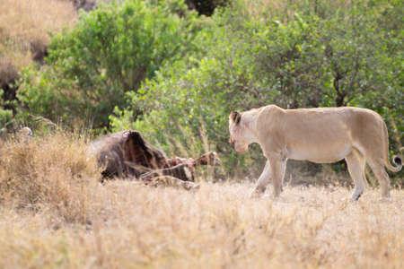 Lioness close up. Serengeti National Park, Tanzania. African wildlife