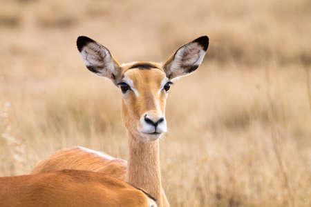 Antelope close up. Serengeti National Park, Tanzania. African wildlife Фото со стока