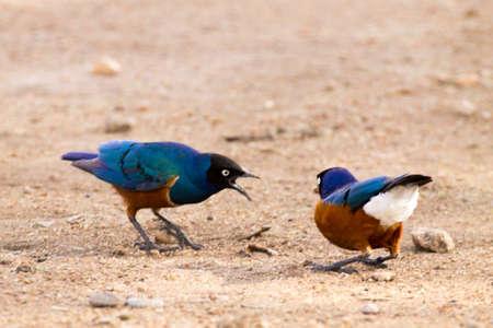 Superb starling birds. Serengeti National Park, Tanzania, Africa. African wildlife