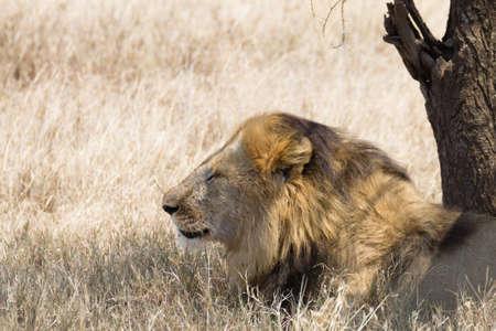 Lion at Serengeti National Park,  Tanzania, Africa. African wildlife