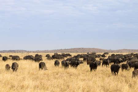 Cape buffalo from Serengeti National Park, Tanzania, Africa. African wildlife Фото со стока