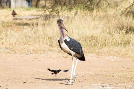 Marabou stork close up. Serengeti National Park, Tanzania, Africa. African wildlife