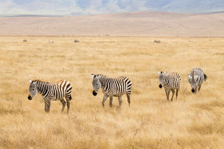 Zebras in a row on Ngorongoro Conservation Area crater, Tanzania. African wildlife Фото со стока