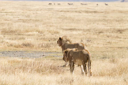 Leone sul cratere dell'area di conservazione di Ngorongoro, Tanzania. fauna africana