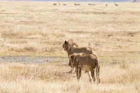 Lion sur le cratère de la zone de conservation du Ngorongoro, en Tanzanie. La faune africaine