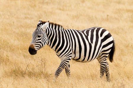 Zebra close up. Ngorongoro Conservation Area crater, Tanzania. African wildlife
