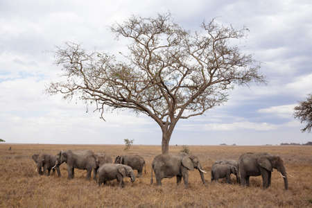 Herd of elephants from Serengeti National Park, Tanzania, Africa. African wildlife