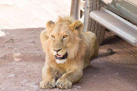 Lion près des voitures au cratère du Ngorongoro, en Tanzanie. La faune africaine