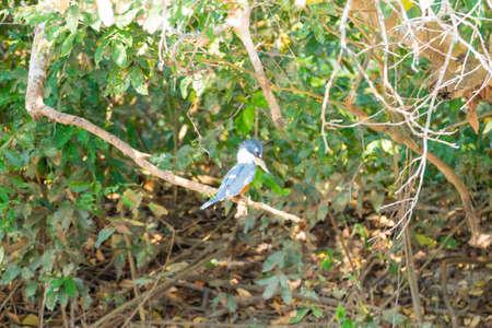 Ringed kingfisher on the nature in Pantanal, Brazil. Brazilian wildlife