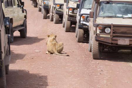 Lion near cars at Ngorongoro crater, Tanzania. African wildlife Stockfoto
