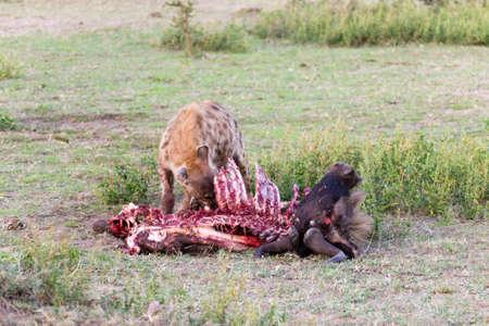 Hyenas eating wildebeest, Serengeti National Park, Africa. African wildlife