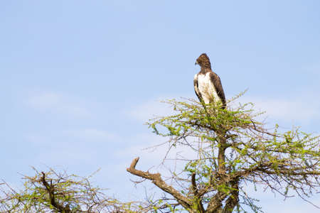 Martial eagle bird. Serengeti National Park, Tanzania, Africa. African wildlife Stockfoto