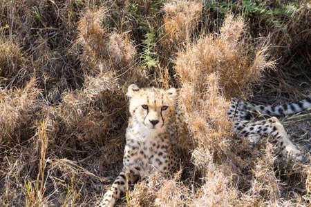 Cheetah cub. Serengeti National Park, Tanzania. African wildlife Stockfoto