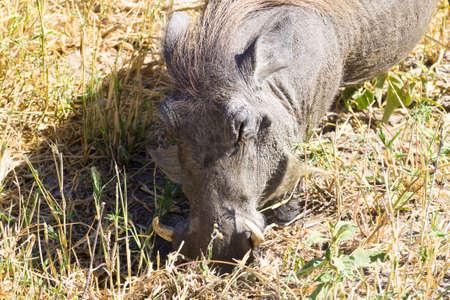 African safari.Warthog close up, Tarangire National Park, Tanzania, Africa