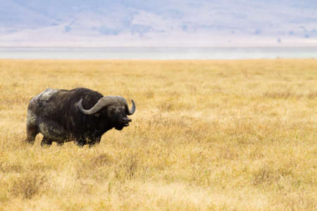 African buffalo close up. Ngorongoro Conservation Area crater, Tanzania. African wildlife Stockfoto