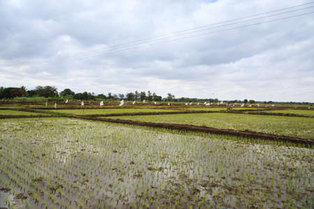 Rice cultivation near Lake Manyara, Tanzania, Africa. Rural landscape Stockfoto