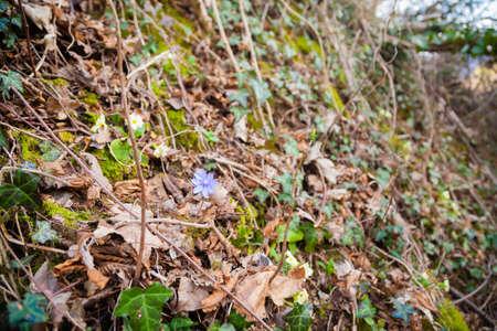 Purple flower growing in woodland, Anemone hepatica flower Archivio Fotografico