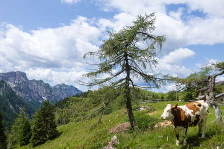 Mountain landscape with cow in foreground, Italian alps. Dolomites panorama