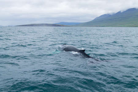Whale watching from Akureyri, Iceland. Whale in water. Wildlife