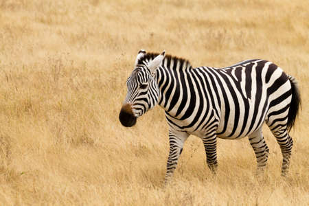 Zebra close up. Ngorongoro Conservation Area crater, Tanzania. African wildlife