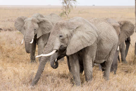 Herd of elephants from Serengeti National Park, Tanzania, Africa. African wildlife