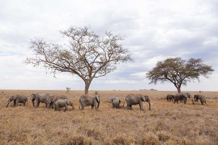 Herd of elephants from Serengeti National Park, Tanzania, Africa. African wildlife Archivio Fotografico - 147556649