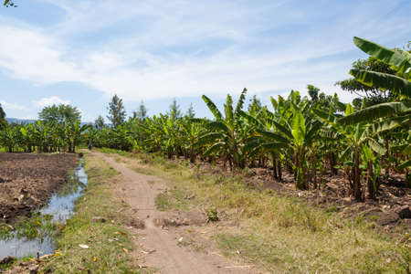 Banana plantation near Lake Manyara, Tanzania, Africa. Rural landscape