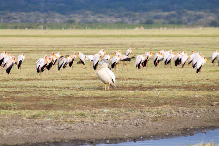 Great white pelican with flock of Yellow billed stork in background, Lake Manyara, Tanzania. African safari. Africa Archivio Fotografico - 147556654