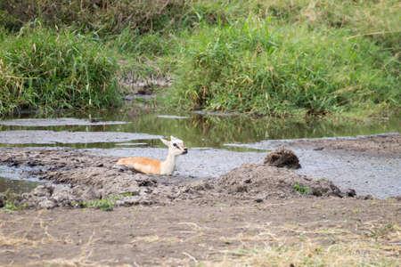 Antelope stuck in mud at Serengeti National Park, Tanzania, Africa. African wildlife