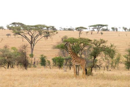 Serengeti National Park landscape, Tanzania, Africa. African panorama