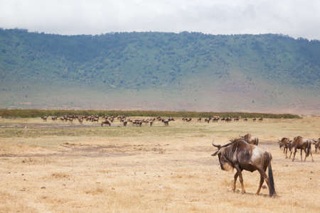 Wildebeest in a row on Ngorongoro Conservation Area crater, Tanzania. African wildlife