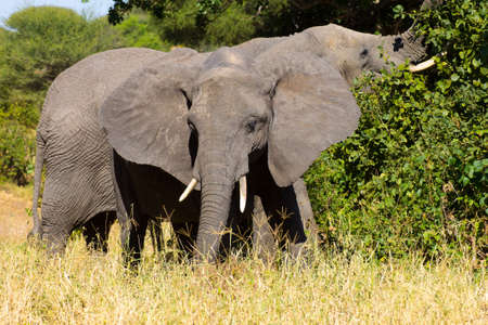 Elephant close up, Tarangire National Park, Tanzania, Africa. African safari. Banque d'images