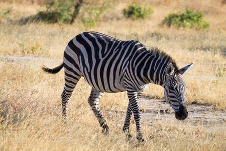 Zebra close up, Tarangire National Park, Tanzania, Africa. African safari. Archivio Fotografico