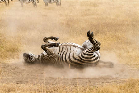 Zebra that is rolling on the ground. Ngorongoro crater, Tanzania. African wildlife