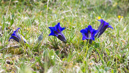 Gentian flowers on green meadow. Blue flower detail. Gentiana acaulis Archivio Fotografico - 147719308