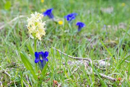 Gentian flowers on green meadow. Blue flower detail. Gentiana acaulis