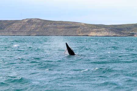 Whale watching from Valdes Peninsula,Argentina. Whale in water. Wildlife