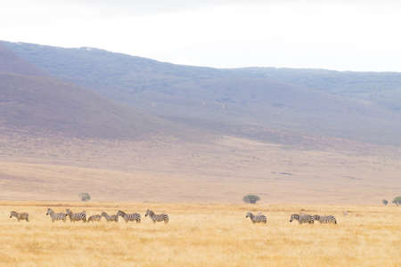 Zebras in a row on Ngorongoro Conservation Area crater, Tanzania. African wildlife Archivio Fotografico
