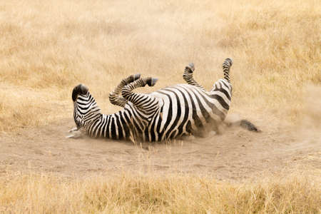 Zebra that is rolling on the ground. Ngorongoro crater, Tanzania. African wildlife Archivio Fotografico