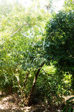 Cinnamon cultivation from Zanzibar, Tanzania. Spices cultivation. Natural food