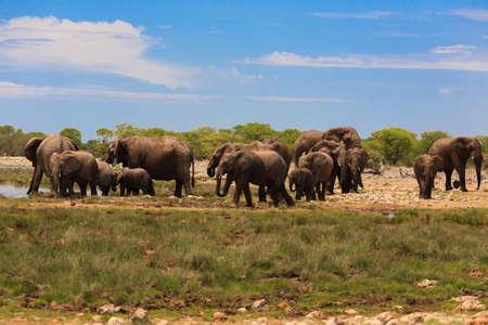 Herd of elephants from Etosha National Park, Namibia