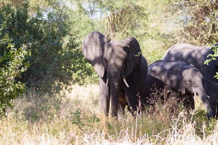Elephant close up, Tarangire National Park, Tanzania, Africa. African safari. Archivio Fotografico