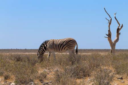 Isolated zebra from Etosha National Park, Namibia Archivio Fotografico